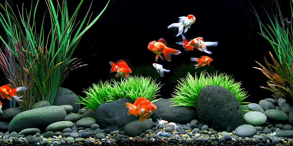 akvarijum sa zlatnim ribicama: cena