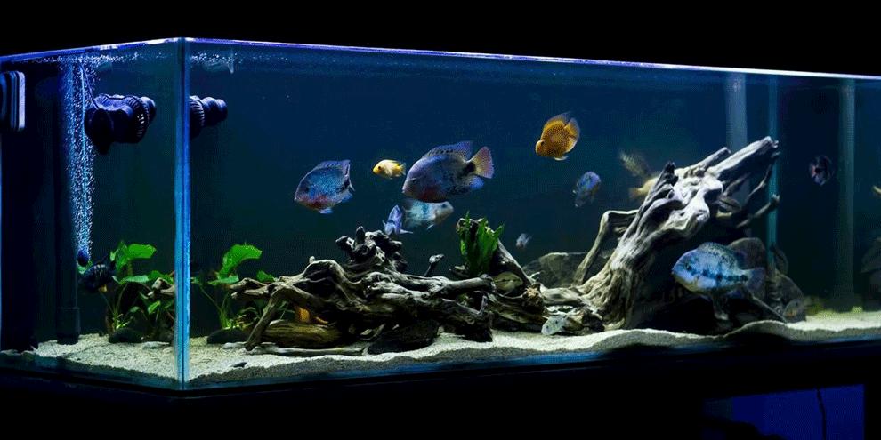 cena za akvarijum sa americkim ciklidima