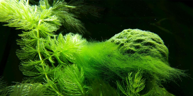 alge u akvarijumu