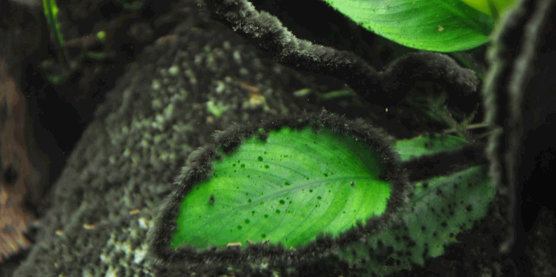 crna zbunasta alga na hard skejpu i nani
