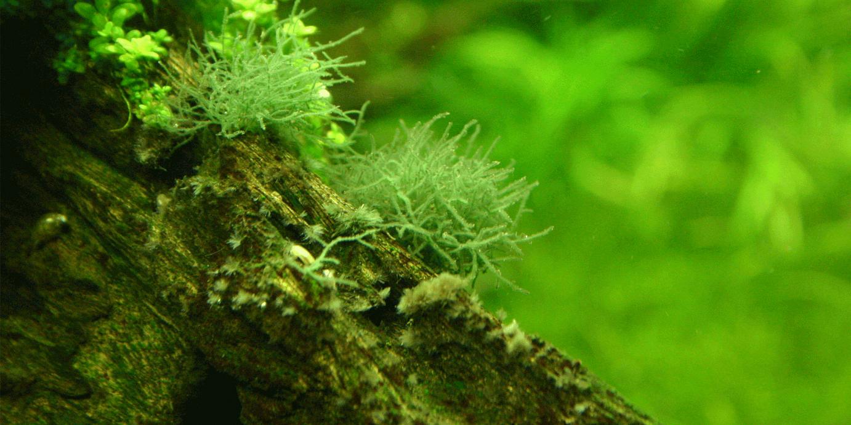 uzroci algi u akvarijumu